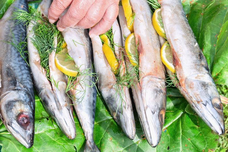 Raw mackerel fish is filled with lemon and dill for cooking hot smoked.  stock image