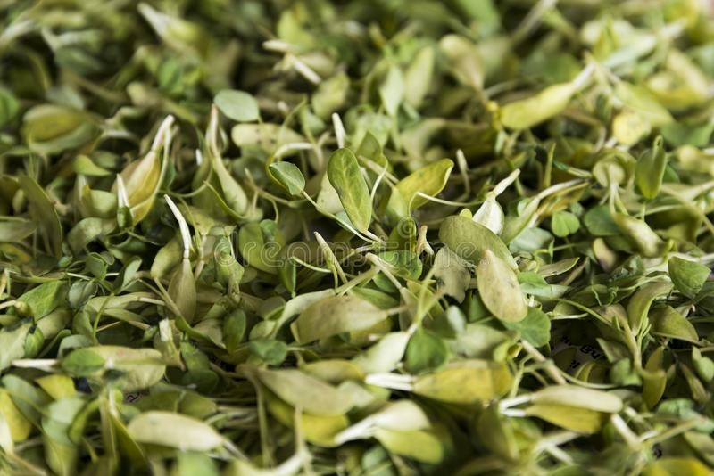Raw Organic Fenugreek Methi Leaves pattern and texture selective focus royalty free stock photography
