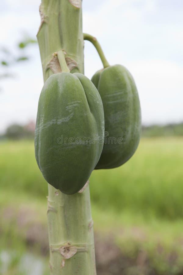 Raw papaya on tree