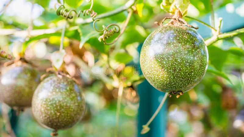 Raw Passiflora edulis fruit hanging in the tree. Agricultural background royalty free stock image