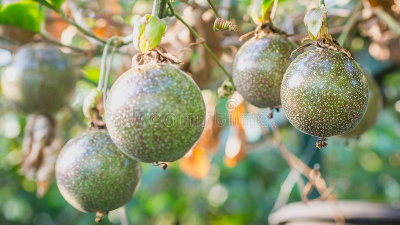 Raw Passiflora edulis fruit hanging in the tree. Agricultural background stock image