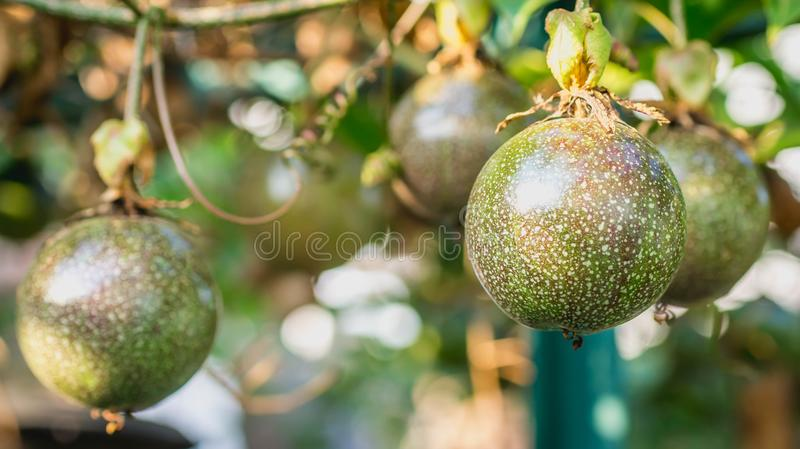 Raw Passiflora edulis fruit hanging in the tree. Agricultural background royalty free stock photo