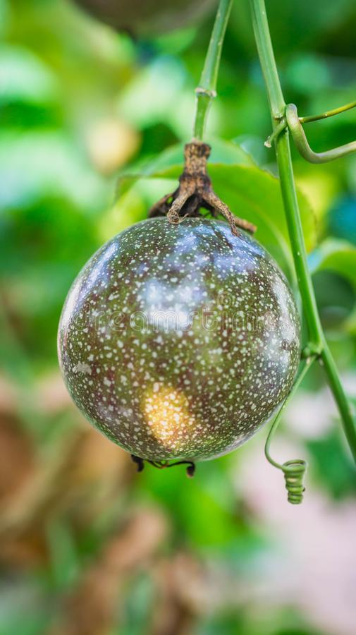 Raw Passiflora edulis fruit hanging in the tree. Agricultural background stock photo