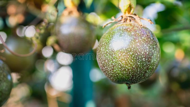 Raw Passiflora edulis fruit hanging in the tree. Agriculture background royalty free stock photo
