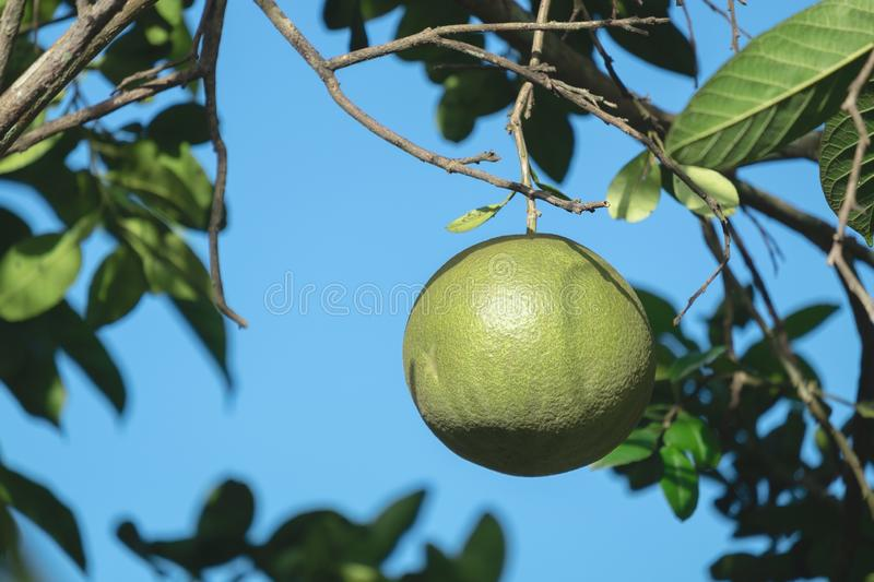 Raw Pomelo with a Branch on the Pomelo Tree stock photos