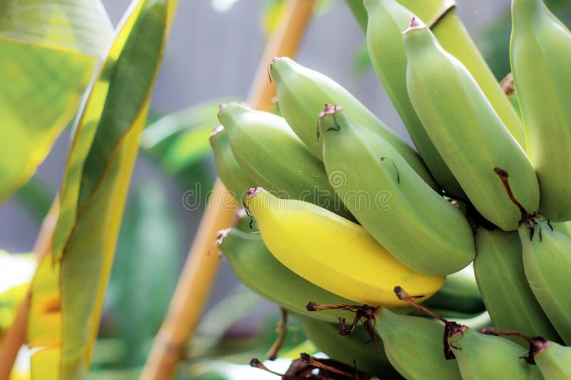 Raw and ripe bananas in farm. royalty free stock photography