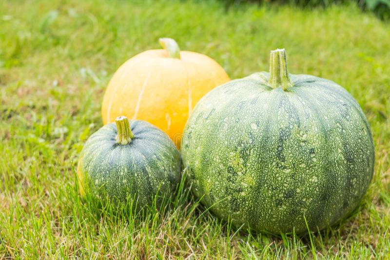 Raw round green zucchini isolated on green grass background. Zucchini, courgette and yellow pumpkin, harvest time for stock photo