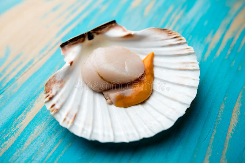 Raw scallop on half shell. A raw scallop on a half-shell with blue wood background royalty free stock image