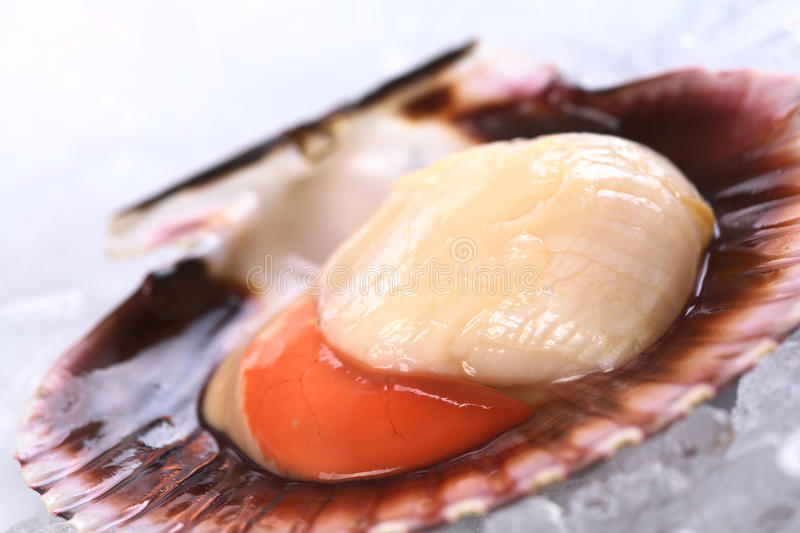 Raw Scallop on Ice. Raw queen scallop (lat. Aequipecten opercularis) on ice (Selective Focus, Focus the front of the scallop's meat royalty free stock photography