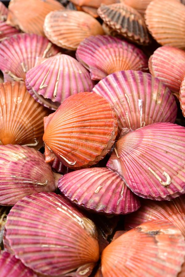 Raw scallop. In Shell Closeup, background stock photos