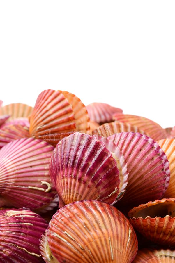 Raw scallop. On white background stock images