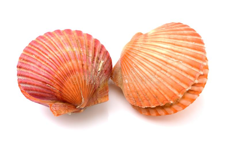 Raw scallop shell. Isolated on black background royalty free stock photo