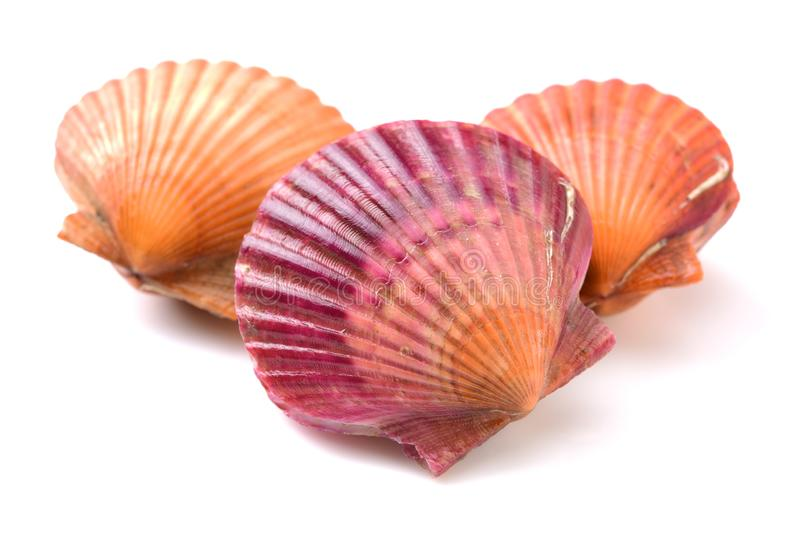 Raw scallop shell. Isolated on black background royalty free stock photography