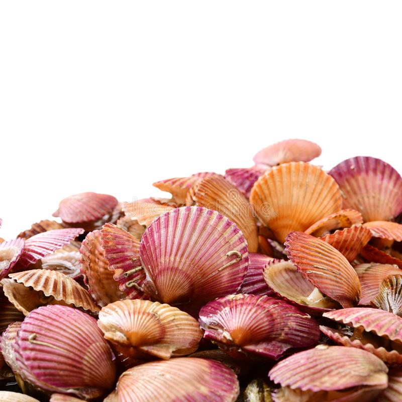 Raw scallop shell. Isolated on a white background royalty free stock photo