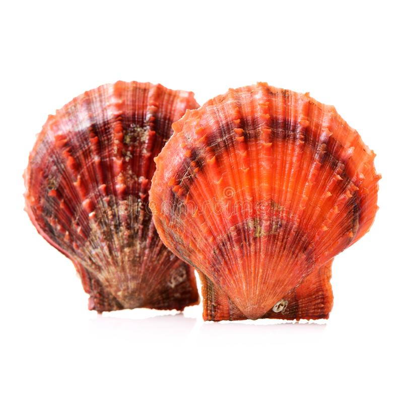 Raw scallop shell. Isolated on white background royalty free stock photos