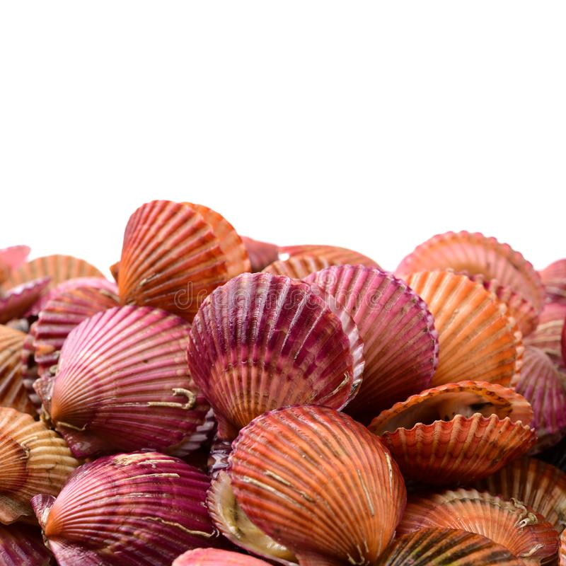 Raw scallop shell. Isolated on a white background stock photos