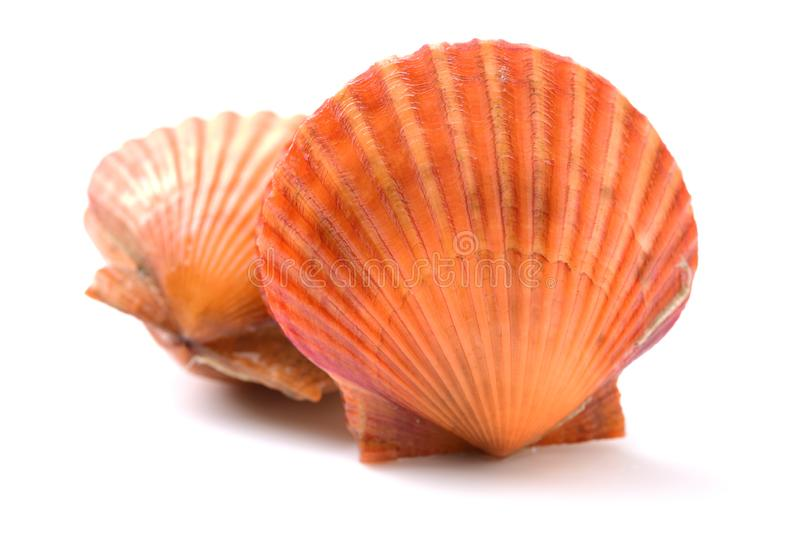 Raw scallop shell. Isolated on white background royalty free stock images