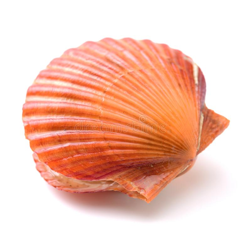Raw scallop shelll. Raw scallop shell isolated on white background royalty free stock photography