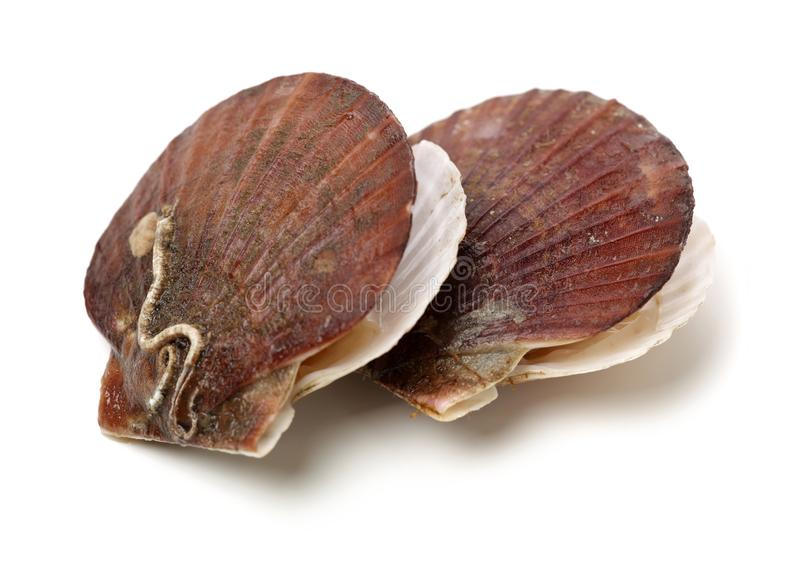 Raw scallop. On white background royalty free stock image