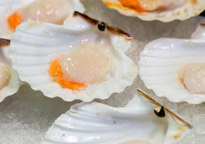 Raw scallops on ice royalty free stock photo