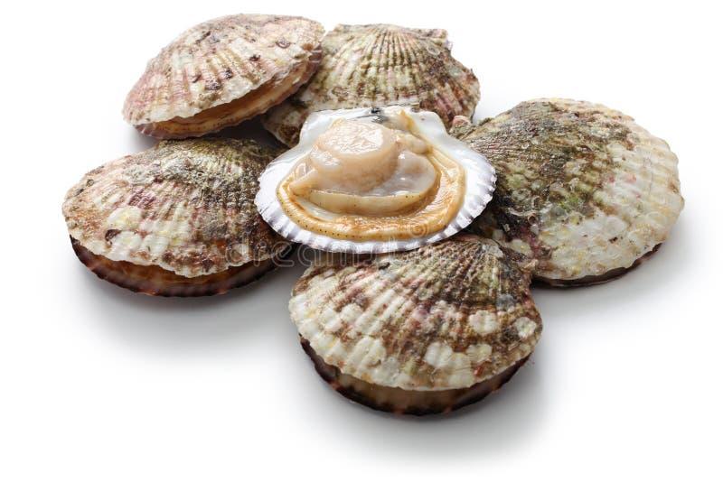 Raw scallops, opened shell stock image
