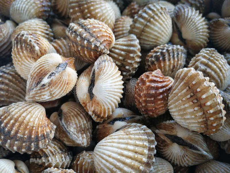 Raw sea cockles clams royalty free stock photos