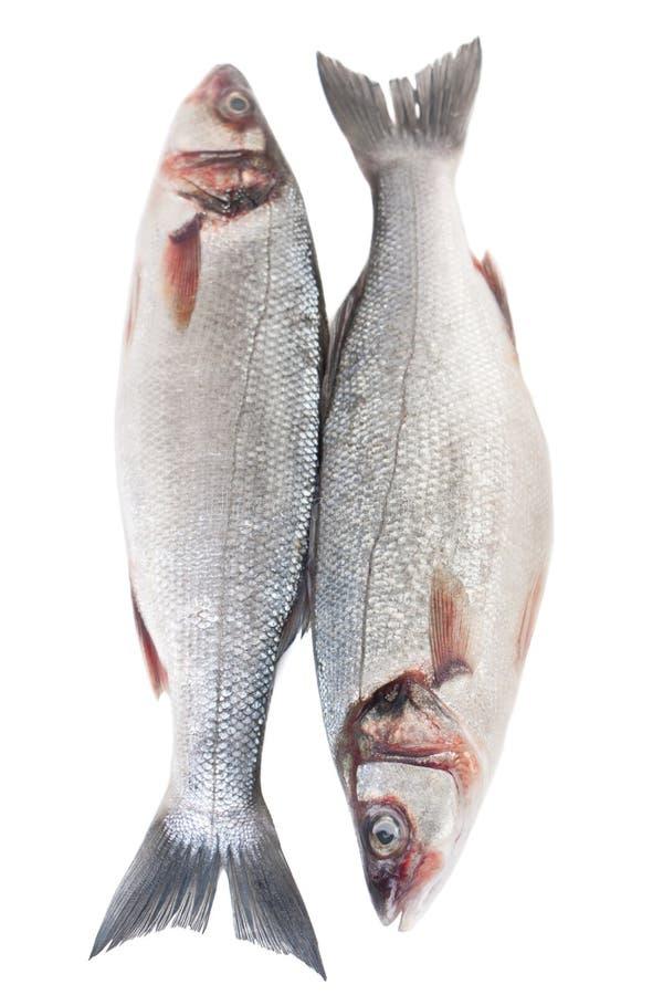 Raw Seabass Fish Isolated. Couple of Raw Seabass Fish Isolated on White Background stock images