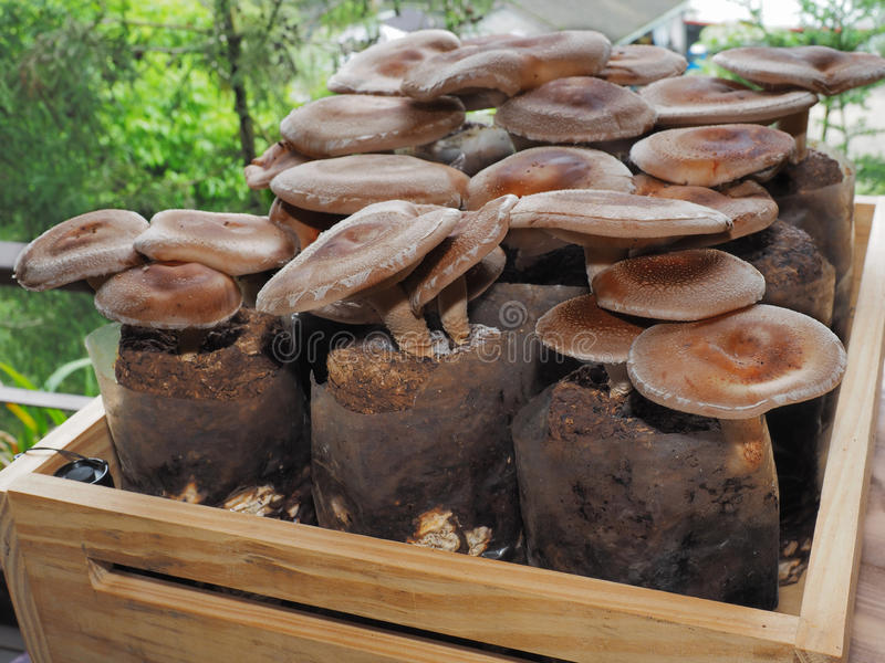 Raw shiitake mushrooms royalty free stock images