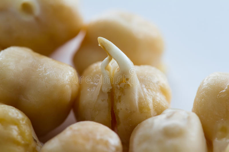 Raw sprouted chickpea. Close up of an organic raw sprouted chickpea with a small root growing out of it stock images