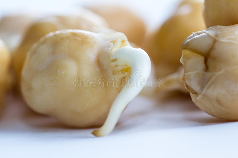 Raw sprouted chickpea. Close up of an organic raw sprouted chickpea with a small root growing out of it royalty free stock photo