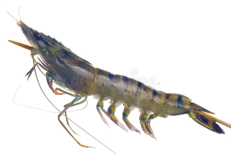 Raw tiger prawn on a skewer stock photo