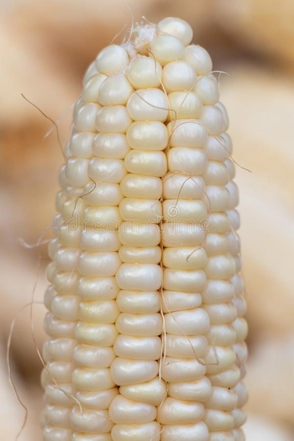 Raw white corn cob or maize close-up. Selective focus stock images