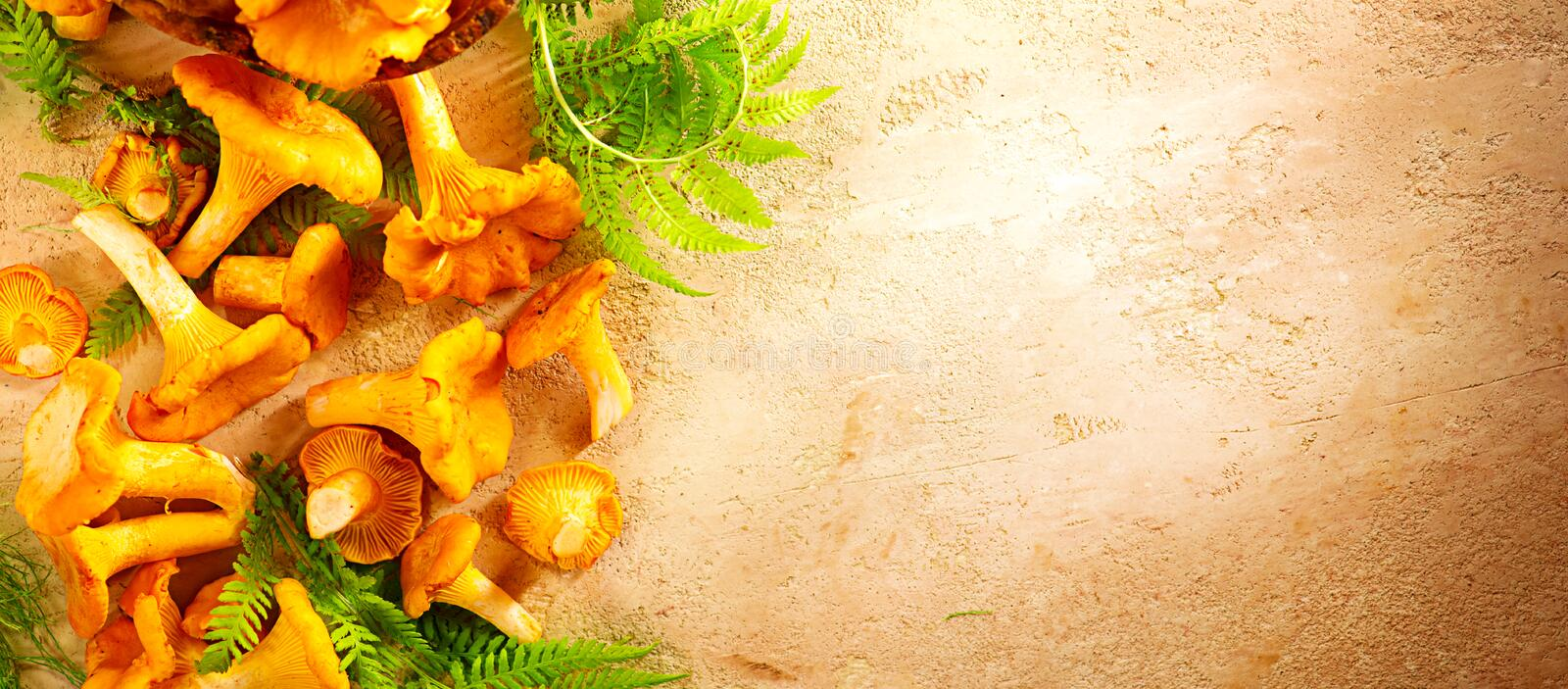 Raw wild chanterelle mushrooms on old rustic table background. Organic fresh chanterelles background stock images
