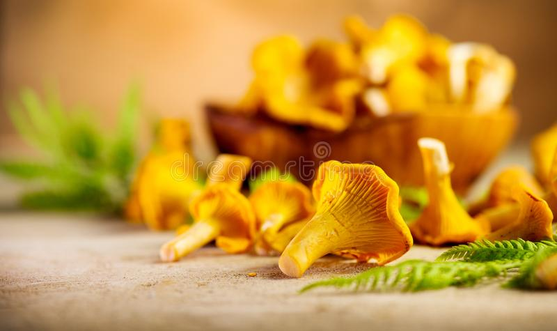 Raw wild chanterelle mushrooms on old rustic table background. Organic fresh chanterelles background stock photography