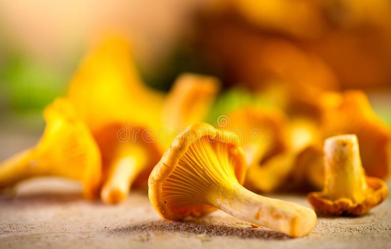 Raw wild chanterelle mushrooms on old rustic table background. Organic fresh chanterelles background royalty free stock photos