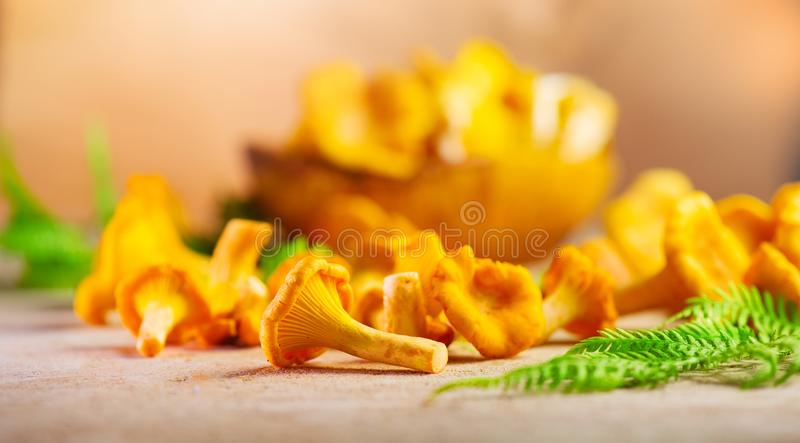 Raw wild chanterelle mushrooms on old rustic table background. Organic fresh chanterelles background royalty free stock image