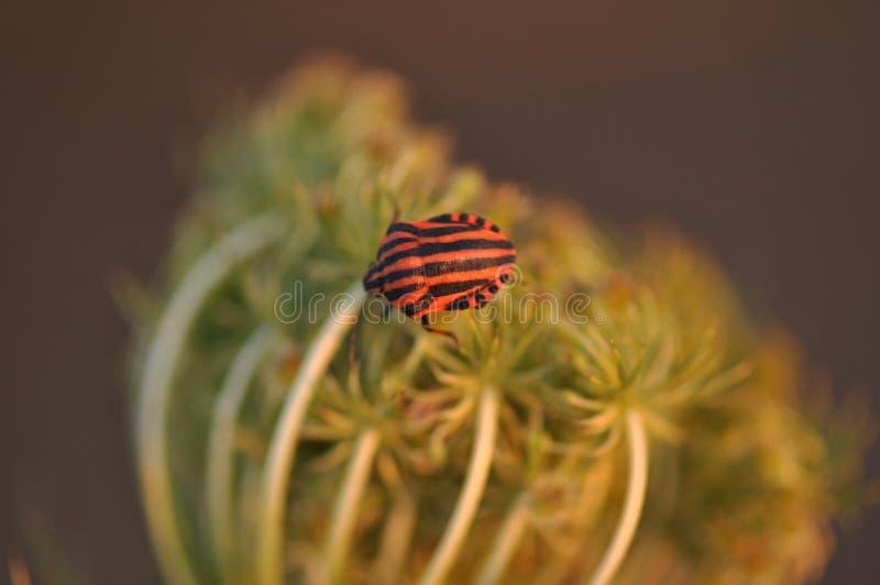 Rayé de lineatum de Graphosoma, rouge et noir photographie stock