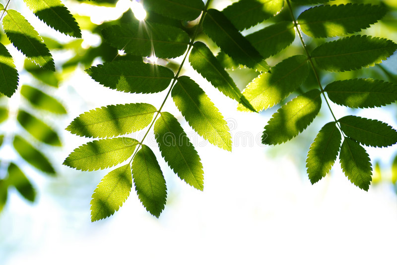 Ray of sun. In green leaves royalty free stock photography