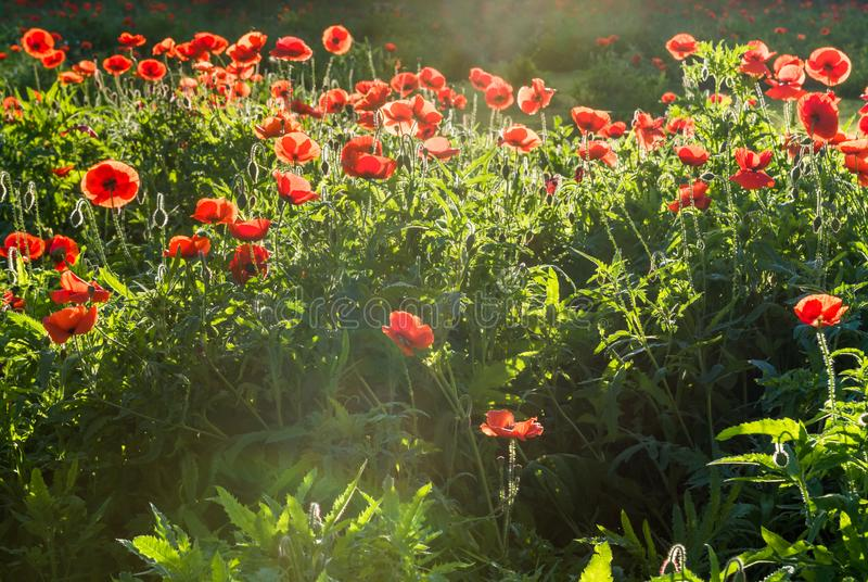Ray of sunshine hitting cluster of red poppies. Ray of sunshine back lighting a cluster of red poppies stock photo