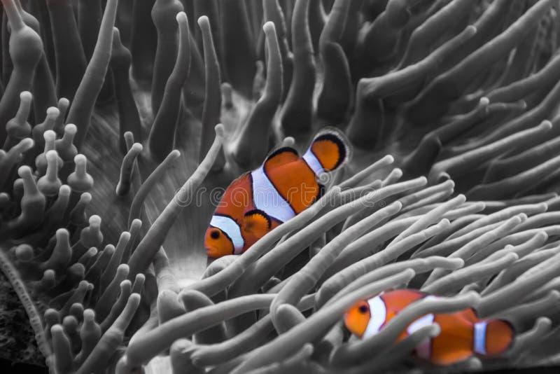 Rayas anaranjadas y blancas de los pescados del payaso de la anémona imagenes de archivo