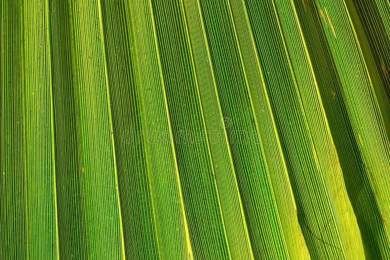 Rayas grandes de la hoja de punta de la palmera en la llamarada de oro de Sun Color amarillento verde vibrante Estilo de moda El  imagenes de archivo