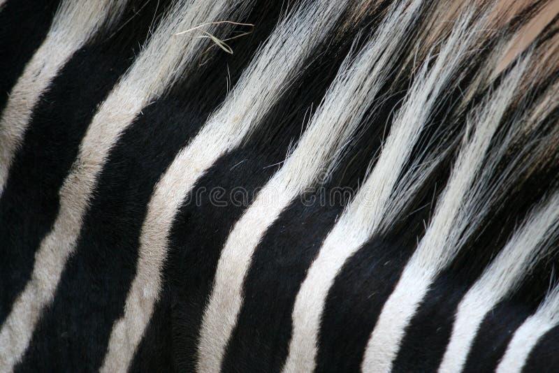 Rayas negras y blancas en cebra imagenes de archivo