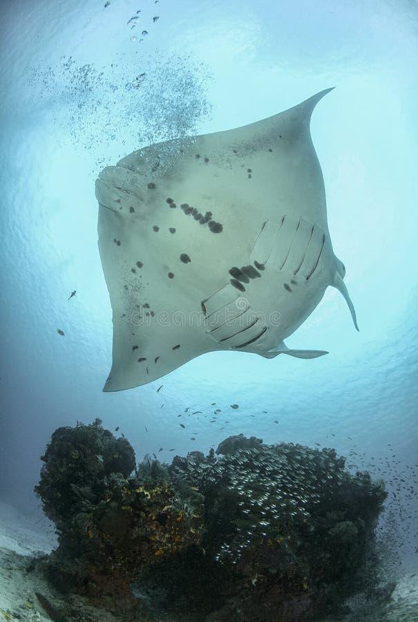 Rayo de Manta en el arrecife de coral fotos de archivo libres de regalías