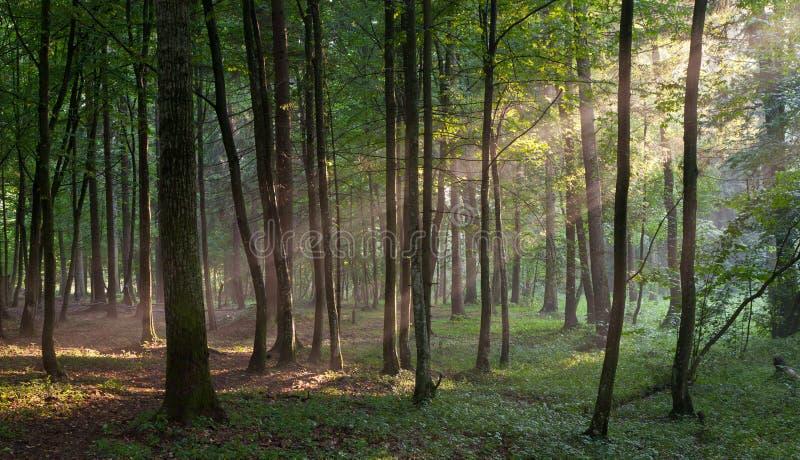 Rayo de sol que entra en el bosque de hojas caducas rico imágenes de archivo libres de regalías