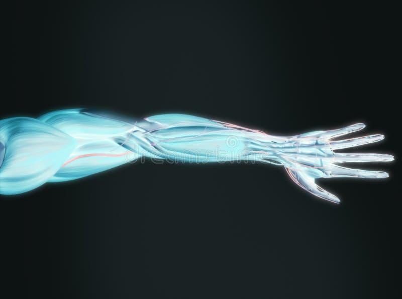 Rayo x del brazo humano imagenes de archivo