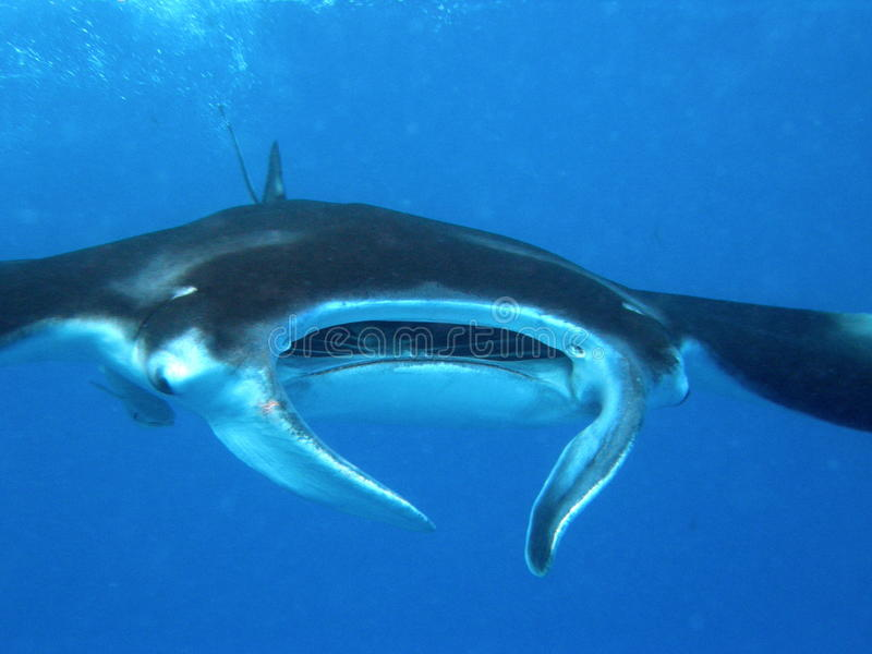 Rayon de Manta Seychelles image libre de droits