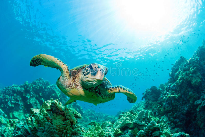 Rayon de soleil de tortue de mer photos libres de droits