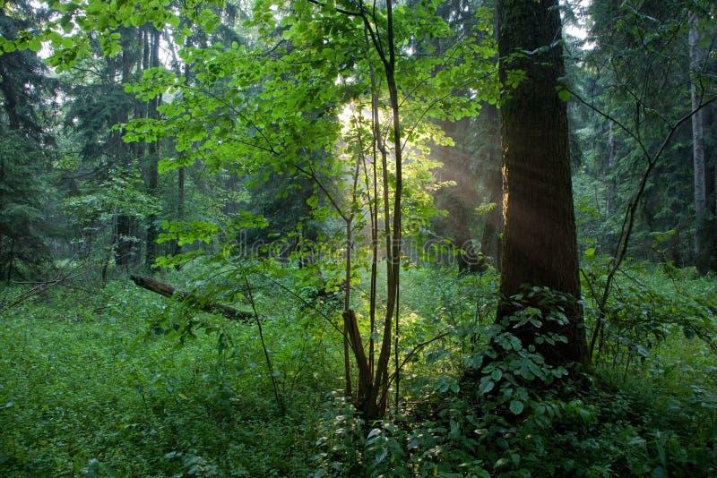 Rayon de soleil entrant dans la forêt riche en soirée brumeuse image stock
