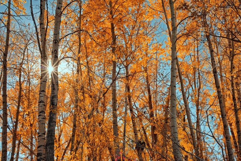 Rayon de soleil par Autumn Trees photo stock