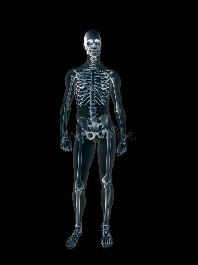 Rayon X, rayon X du fuselage mâle humain. illustration stock